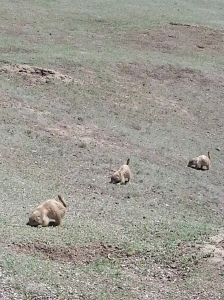 Major prairie dog cuteness